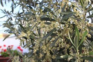 Olivenbaumblüten
