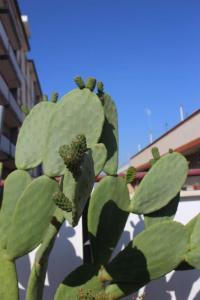 Kaktusfeigen mit Fruchtansatz