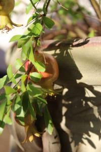 Granatapfel 2