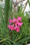 Hyazinthe rosa