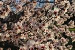 Mandelblüten nah