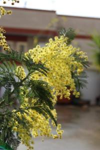 Mimose auf der Terrasse 2
