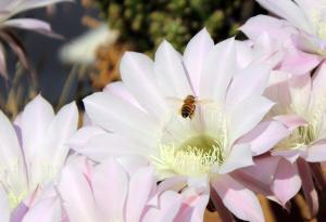 Biene und Blume 1
