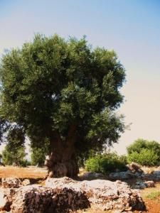 olivenbaum-bei-eganzia-1