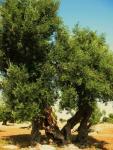 olivenbaum-bei-egnazia-6
