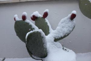 Die letzten Früchte des Kaktusfeigenablegers haben wir nicht mehr geerntet. Jetzt tragen sie ein weißes Häubchen aus Schnee.